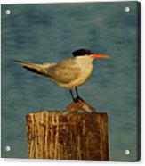 The Tern Acrylic Print by Ernie Echols