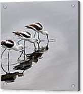 The Three Avocets Acrylic Print