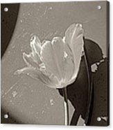 The Tulip And The Shadows Acrylic Print