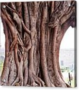 The Twisted And Gnarled Stump And Stem Of A Large Tree Inside The Qutub Minar Compound Acrylic Print