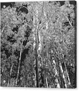 The Two Split Trees Bw Acrylic Print