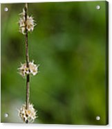 The Wand Of Winter Faces The Power Of A Green Spring Acrylic Print