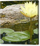 The Water Lily And The Frog Acrylic Print