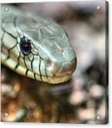 The Western Green Mamba Acrylic Print by JC Findley
