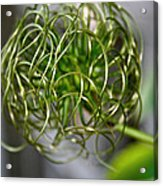 The World Of Clematis  Acrylic Print