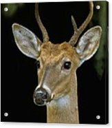 The Yearling Acrylic Print
