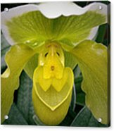 The Yellow Orchid Acrylic Print