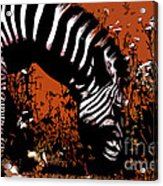 The Zebra Acrylic Print