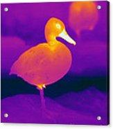 Thermogram Of A Cinnamon Teal Duck Acrylic Print