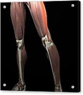 Thigh/lower Limb Abduction Acrylic Print