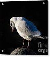 Thinking Seagull Acrylic Print