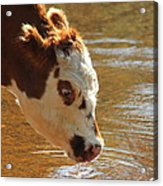 Thirsty Boy Acrylic Print by Karen Grist