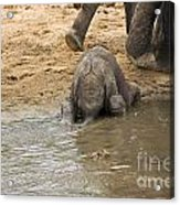 Thirsty Young Elephant Acrylic Print