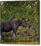 This Is Our World - No.16 - Moose Eating By The Lake Acrylic Print