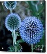 Thistle In Bloom Acrylic Print