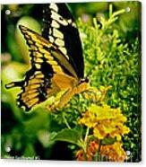 Thoas Swallowtail #1 Acrylic Print