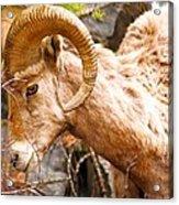 Thompson Falls Ram Acrylic Print