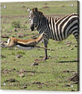 Thomson's Gazelle Running At Full Speed Acrylic Print
