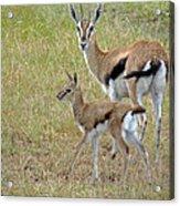 Thomsons Gazelle Acrylic Print