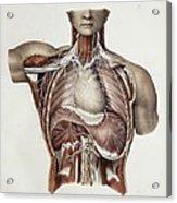Thoracic Nerves, 1844 Artwork Acrylic Print