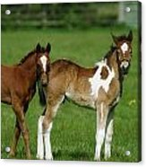Thoroughbred Foal And Half-breed Acrylic Print
