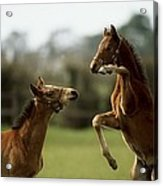 Thoroughbred Foals Playing Acrylic Print