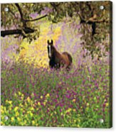 Thoroughbred Horse Among Wildflowers In The Chittering Valley, Western Australia Acrylic Print by Peter Walton Photography