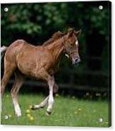 Thoroughbred Horse, National Stud Acrylic Print