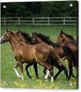 Thoroughbred Horses, Ireland Acrylic Print