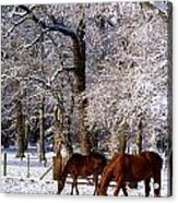 Thoroughbred Horses, Mares In Snow Acrylic Print