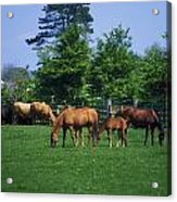 Thoroughbred Horses Acrylic Print