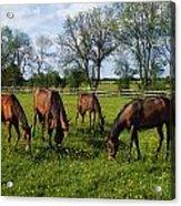 Thoroughbred Horses, Yearlings, Ireland Acrylic Print