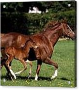 Thoroughbred Mare And Foal Galloping Acrylic Print