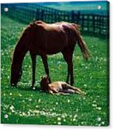 Thoroughbred Mare And Foal, Ireland Acrylic Print