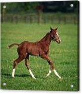 Thoroughbred Mare, National Stud Acrylic Print