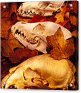 Three Animal Skulls Acrylic Print by Garry Gay