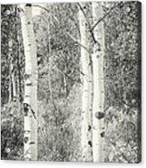 Three Aspen Trees Acrylic Print