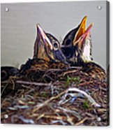 Three Baby Robins Acrylic Print