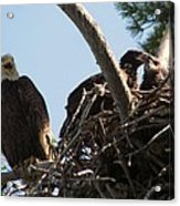 Three Bald Eagles In The Nest Acrylic Print by Mitch Spillane