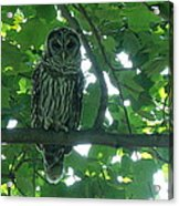 Three Barred Owls Acrylic Print