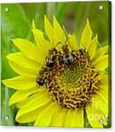 Three Bees Hunkering Down Acrylic Print