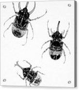 Three Beetles X-ray Acrylic Print