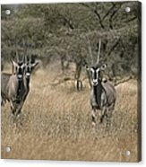 Three Beisa Oryxes In Kenyas Samburu Acrylic Print