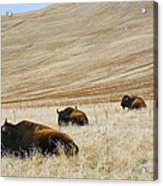 Three Bison Acrylic Print