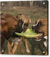 Three Boxer Dogs Play Tug-of-war Acrylic Print by Roy Gumpel