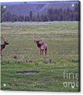 Three Bull Elk Acrylic Print