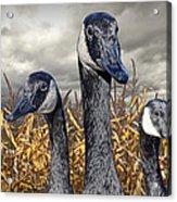 Three Canada Geese In An Autumn Cornfield Acrylic Print