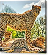 Three Cheetahs Acrylic Print