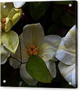 Three Clematis More Acrylic Print