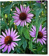 Three Coneflowers Acrylic Print